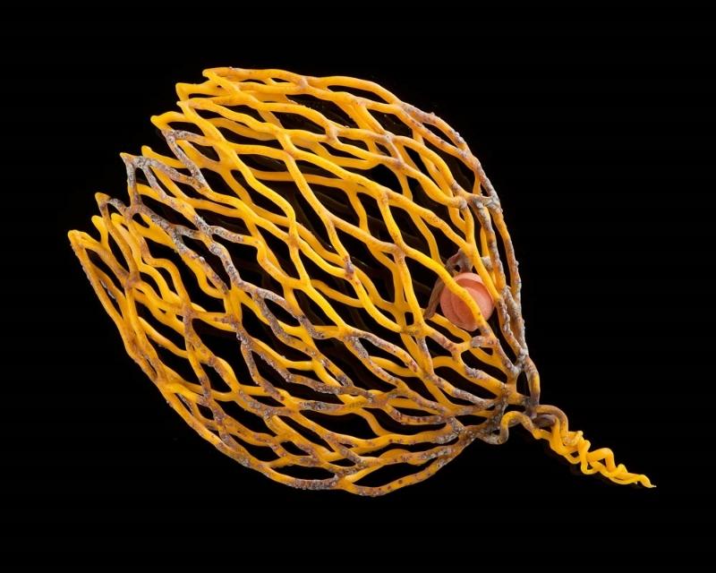 Apricot Sea Fan