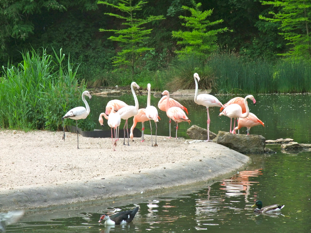 Flamingos in  Killesbergpark