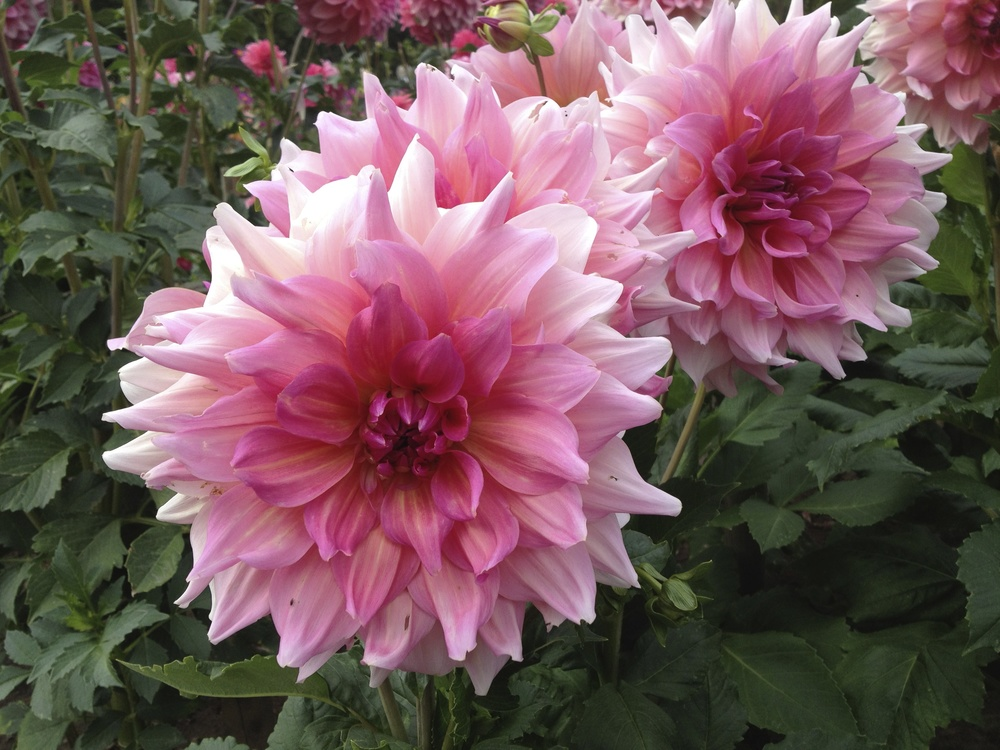 A pink dahlia at   Killesbergpark