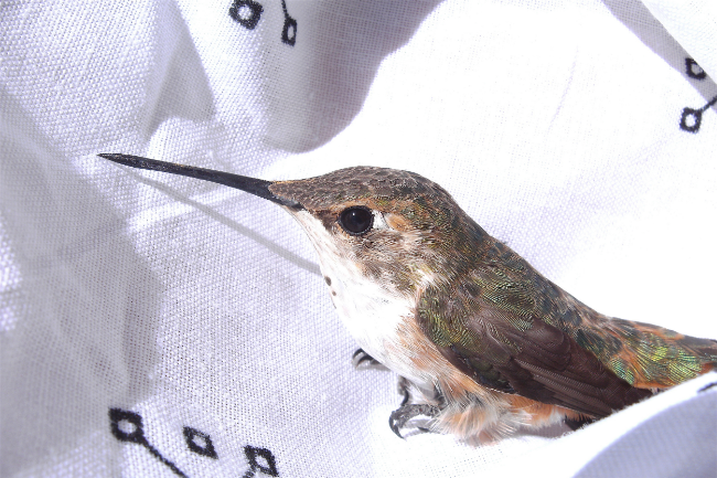 Female rufous hummingbird being released from my studio.