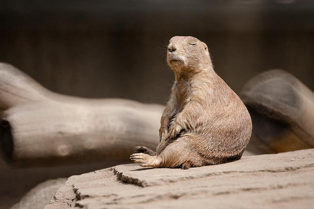 This prairie dog is livin' that balanced life CC Image courtesy of yischon on Flickr