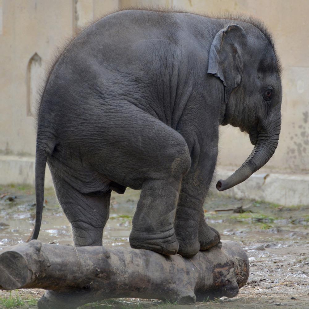 balance elephant yin yang