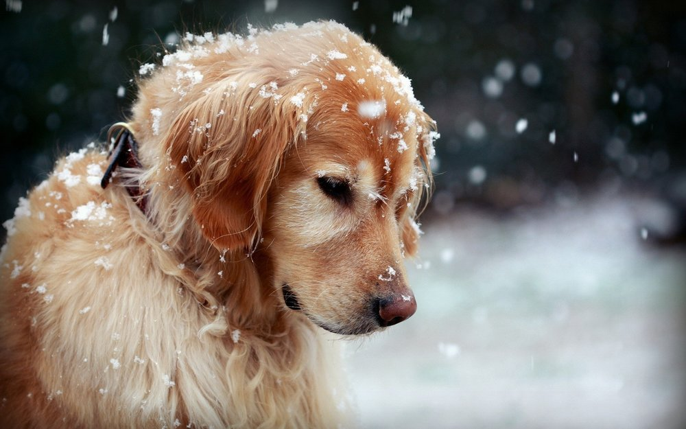winter-dog-snowflakes-hd-wallpaper-Dog-wallpaper-HD-free-wallpapers-backgrounds-images-64737288.jpg