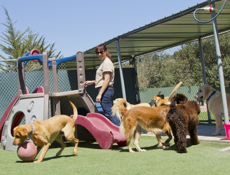 Dog daycare attendant observing dog behavior