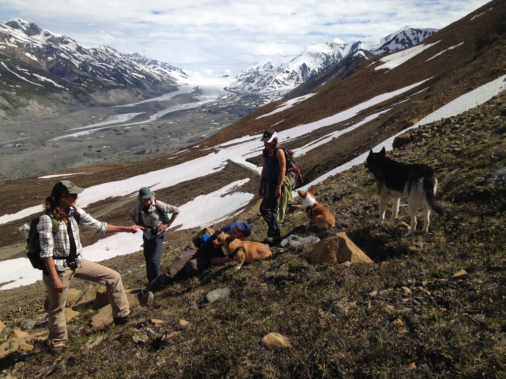 Out botanizing with the Alaska Native Plant Society. I'd like to think I'm pointing at a neat flower in this photo but I'm probably just talking to one of the dogs. Canwell glacier in the background. Thanks Jeff for the photo!