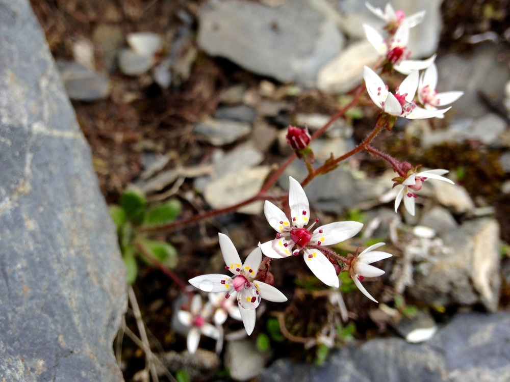 Micranthes ferruginea at Thompson Pass in the Chugach Mountains.