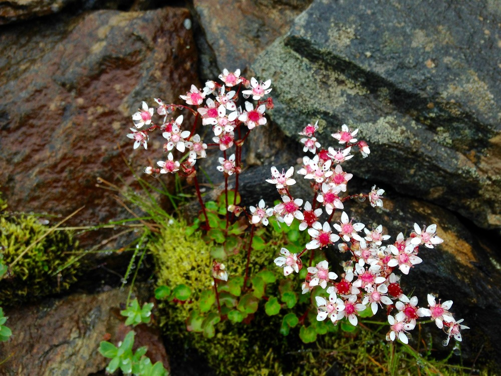 I know you have been waiting because I sure have. This is the infamous  Micranthes nudicaulis . In all of the world it only grows outside of nome and directly across the bering sea in Russia. And it is just so pretty.