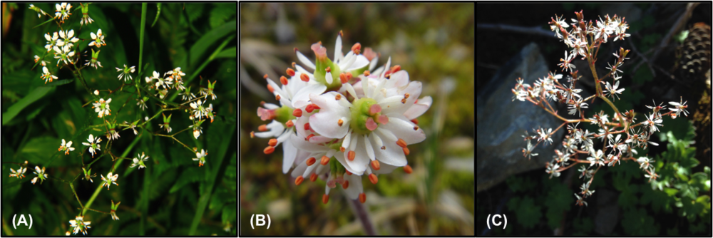 Subspecies of Micranthes nelsoniana found worldwide: (a) China, (b), Alaska, (c) Washington.