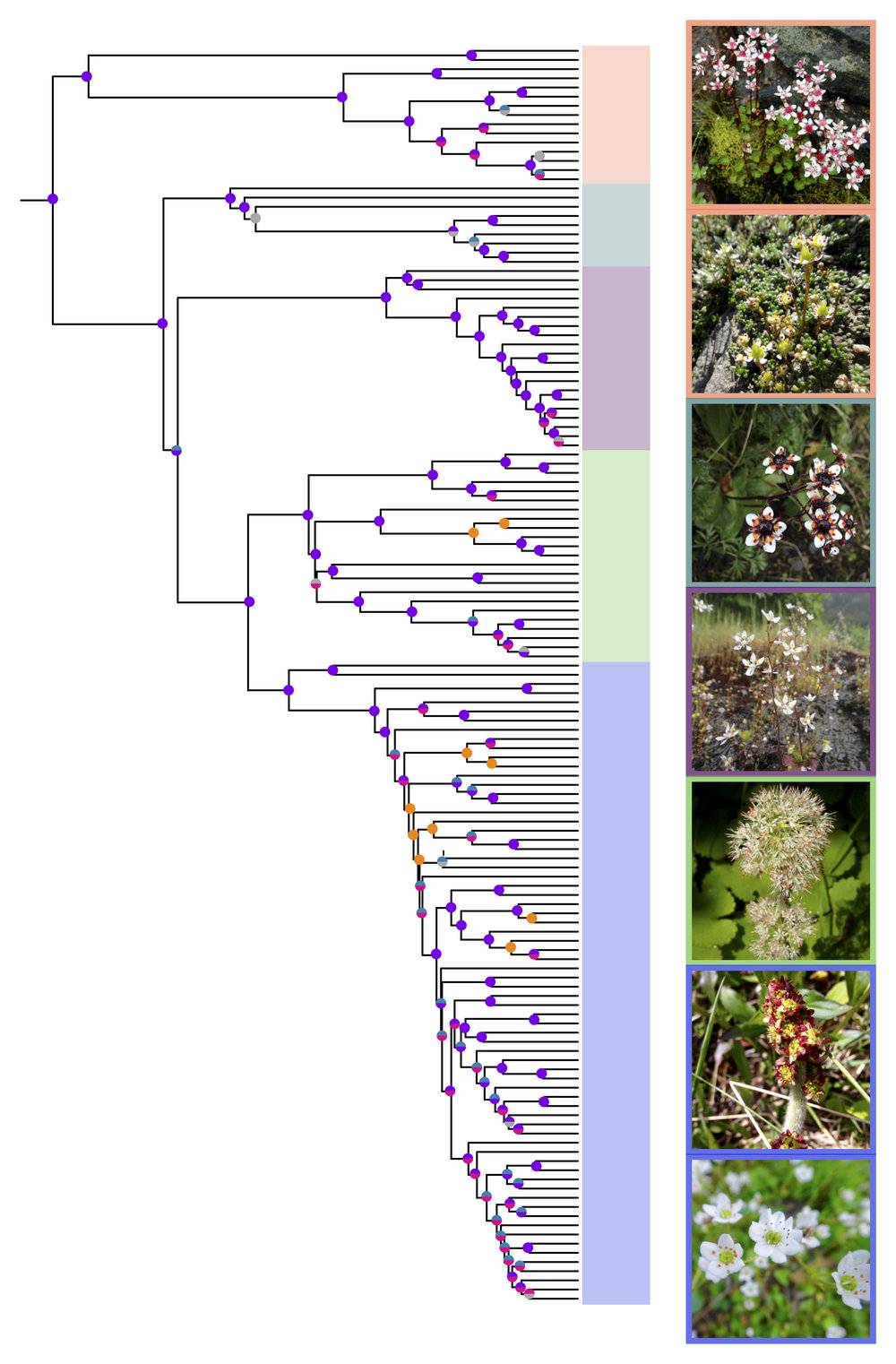 Rebecca_Stubbs_phylogeny_micranthes