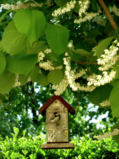 Our chickadee family settling in at Songbird Hollow in the styrax obessia (Fragrant snowbell tree)