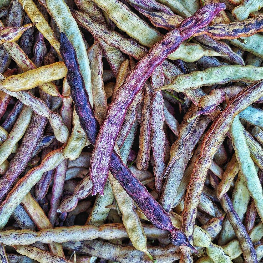 Mesquite bean harvest