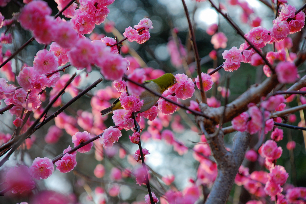 3-Plum_blossoms.jpg