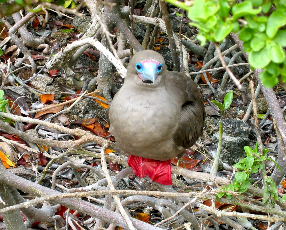 Red Footed Booby with Broken Beak