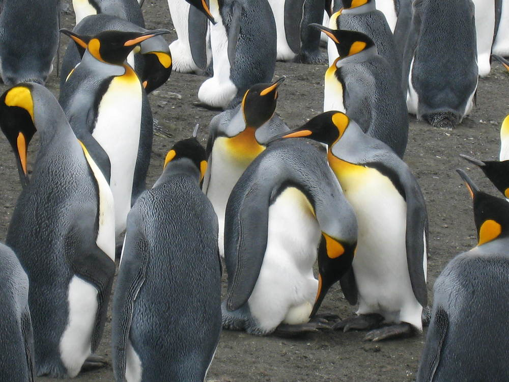 KING PENGUINS WITH EGG, SOUTH GEORGIA, ANTARCTICA