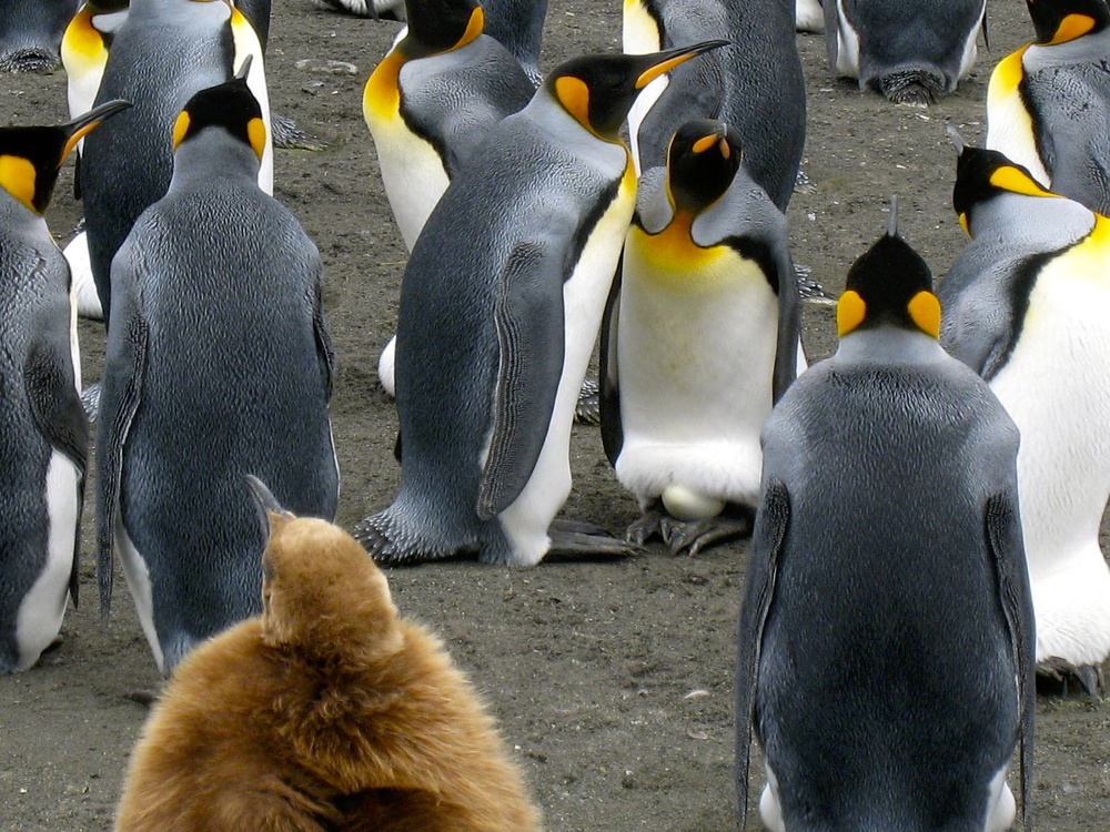KING PENGUIN PAIR WITH EGG