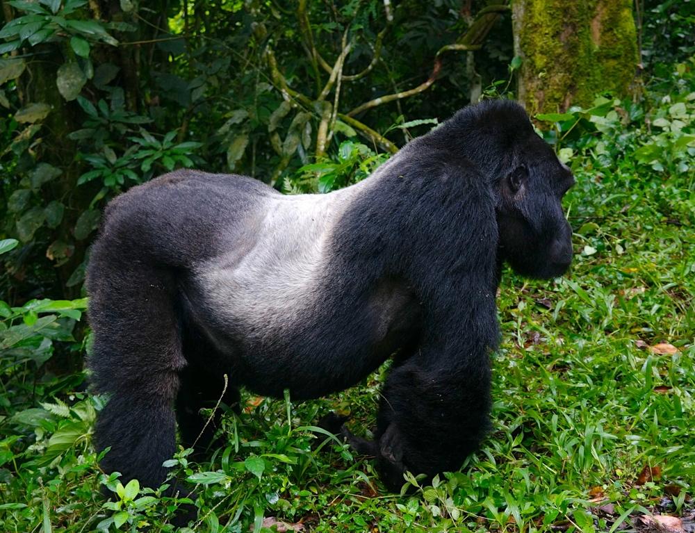 Silverback Mountain Gorilla--the Dominant Male