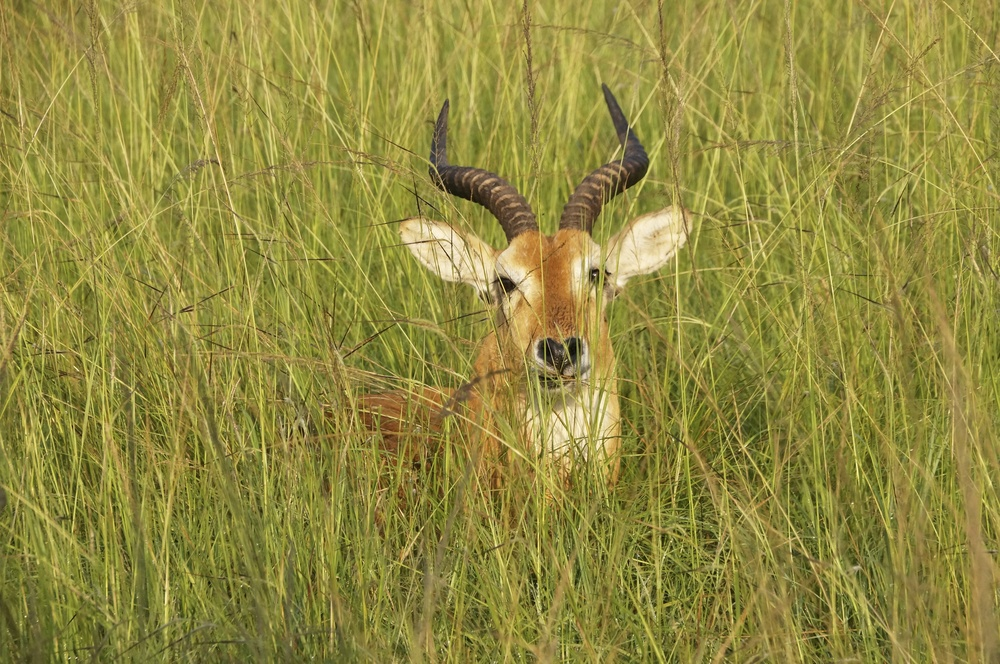 Impala in grasslands--camouflaged.