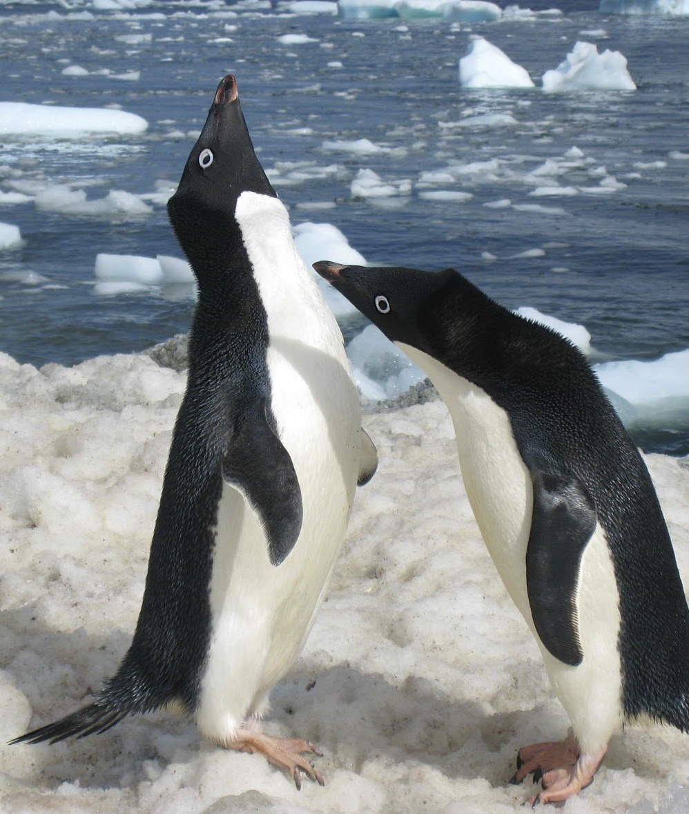 Courting Pair of Adelie Penguins