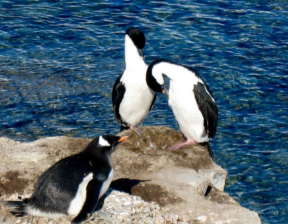 Blue eyed Shag pair (Cormorants) near a nesting Gentoo Penguin.