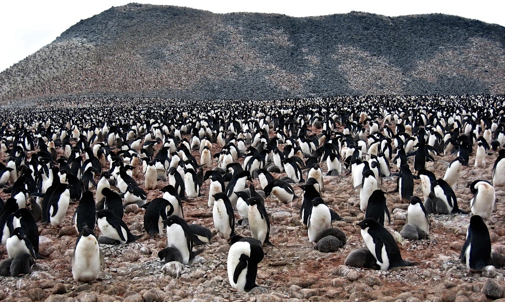 Thousands of Adelie penguins-Paulet Island