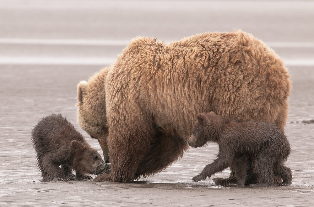 Mother and 5 month old cubs clamming