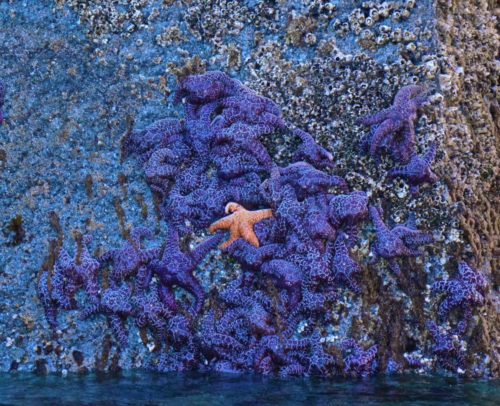 Sea Stars-Kenai Fiords National Park