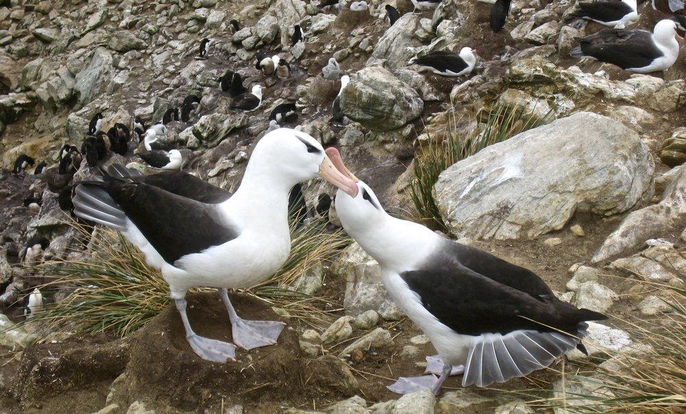 Black Browed Albatrosses Courting.