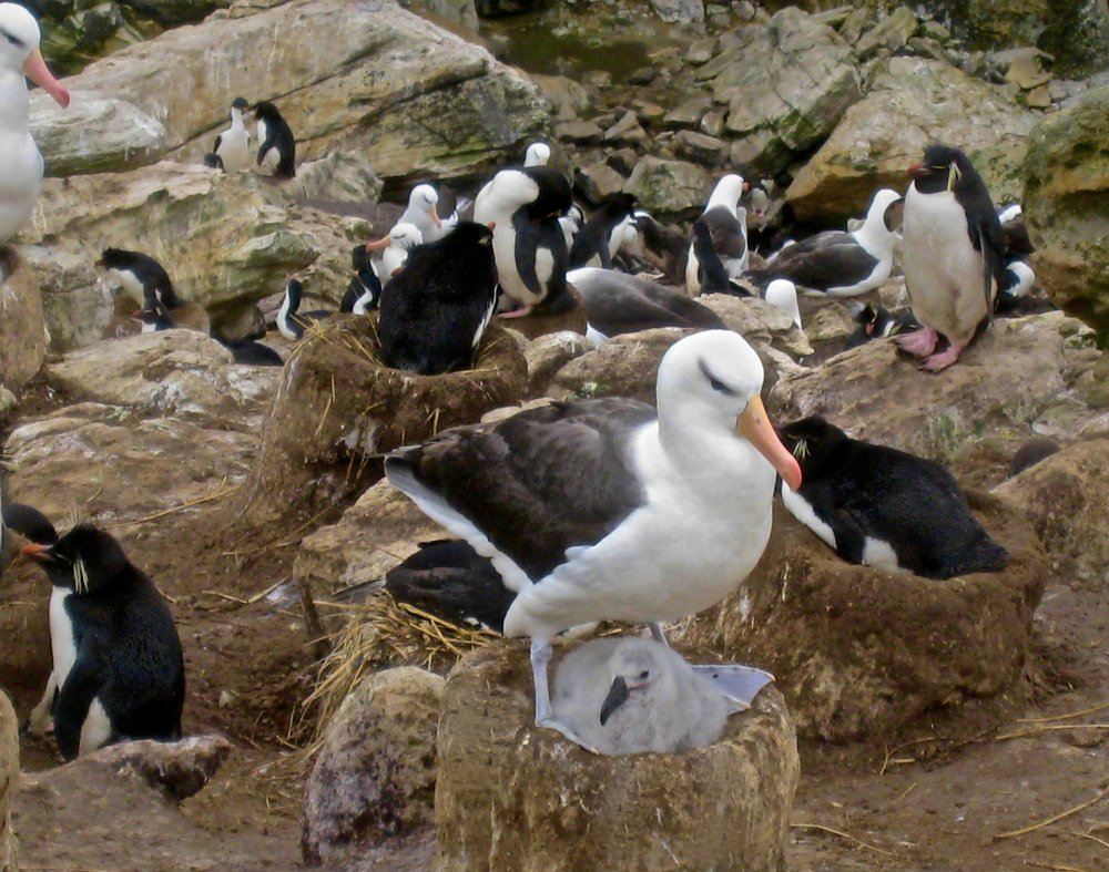 Black Browed Albatross Builds the Nest and Others Share