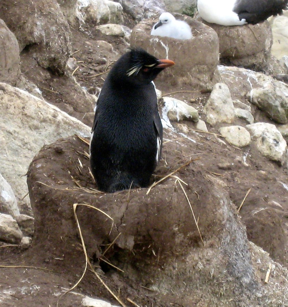 Rockhopper Penguin Squatting in a Black Browed Albatross Nest
