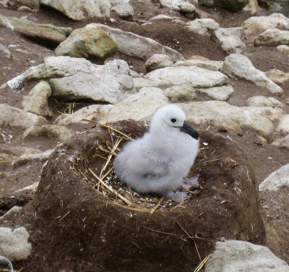 Baby Black Browed Albatross in Nest