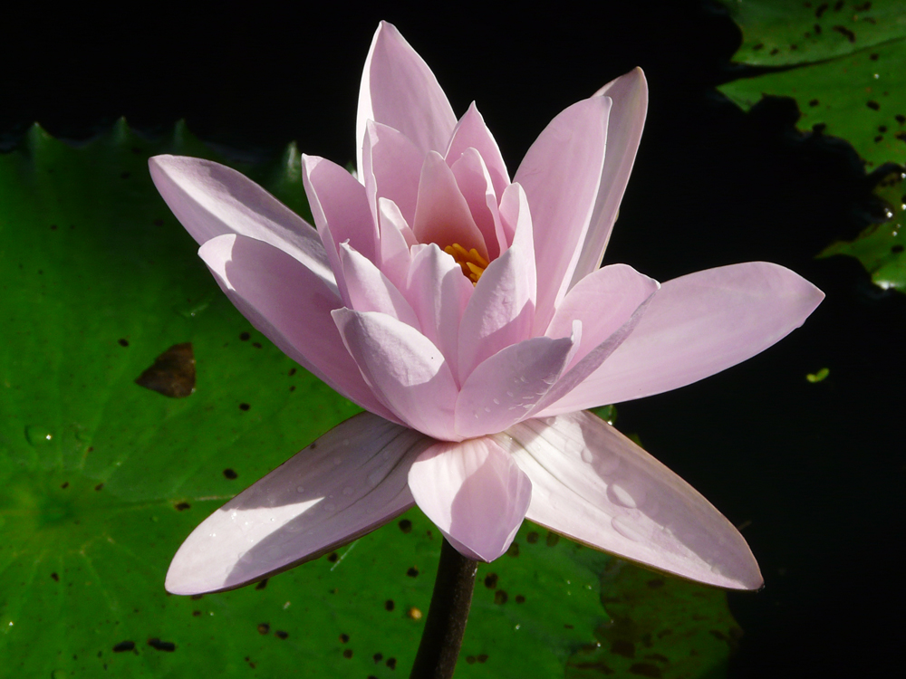 """Peaceful Balinese Lotus"" by Mary Lou Dauray"