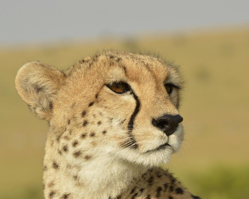 Cheetah by Nicholas Mariano