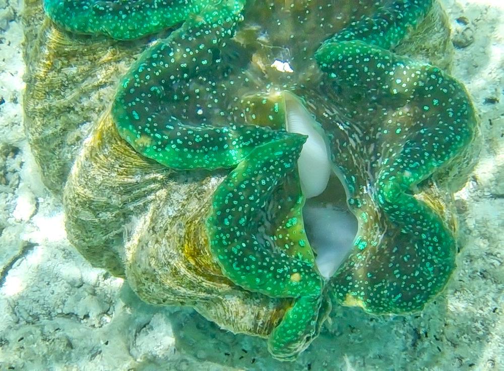Giant clam, Aitutaki lagoon