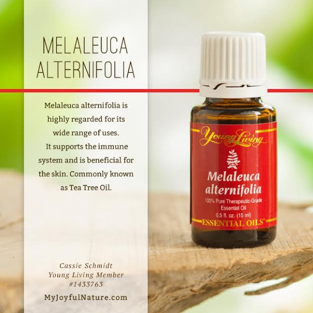 Melaleuca Alternifolia.jpg
