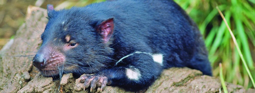 meet a local   @ Tasmanian Devil