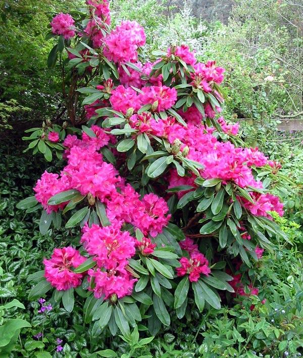rhodos pink 2.jpg
