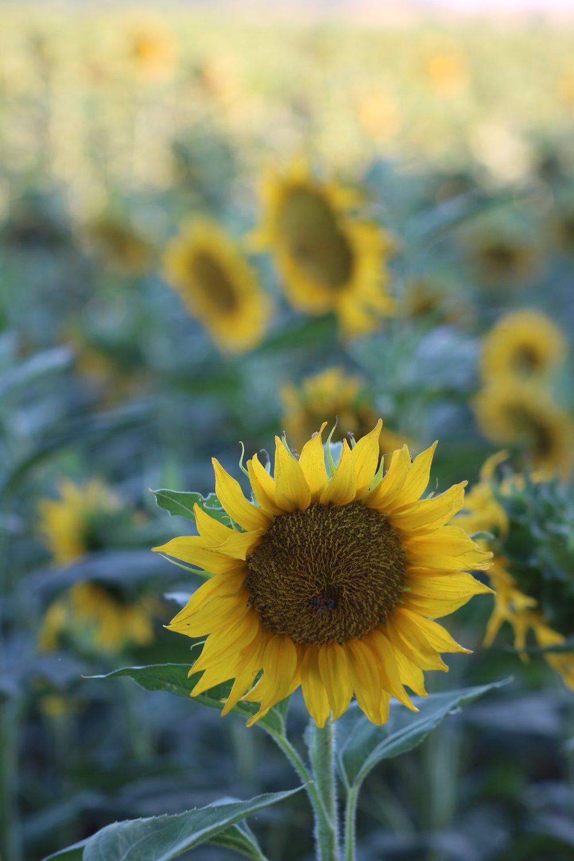 sunflowers woodland ca