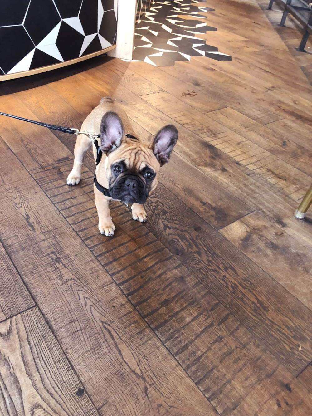 frenchie better buzz