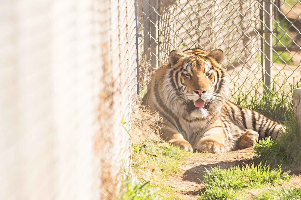 This is a beautiful young male tiger, barely a year old. Well beyond the adorable tiger cub that some people have been tempted to purchase as pets.From frolickingkitten to majestic and massive creature in UNDER 12 months!