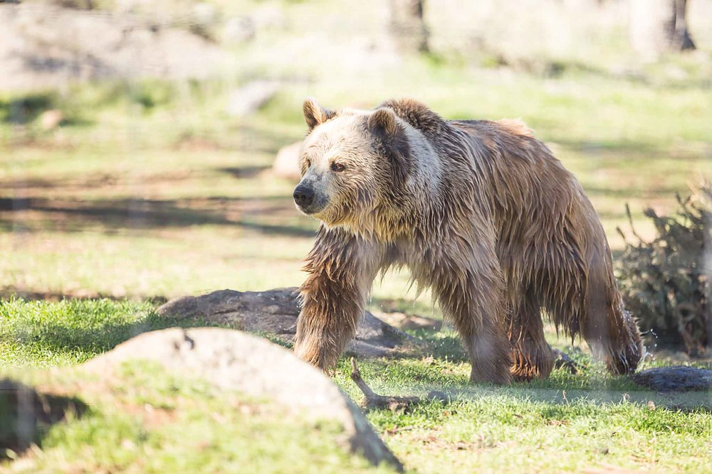 This gorgeous grizzly had just come from playing in the pond. This is probably my favorite photo of the day.