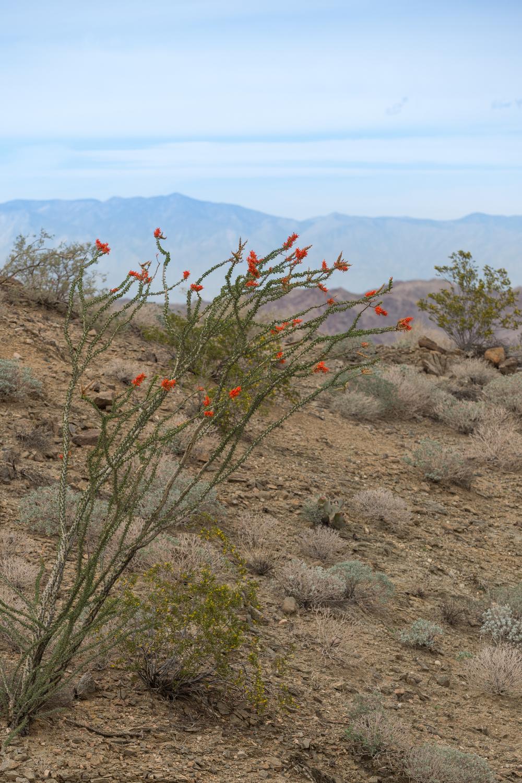 Blooming Ocotillo Plant above Coachella Valley.