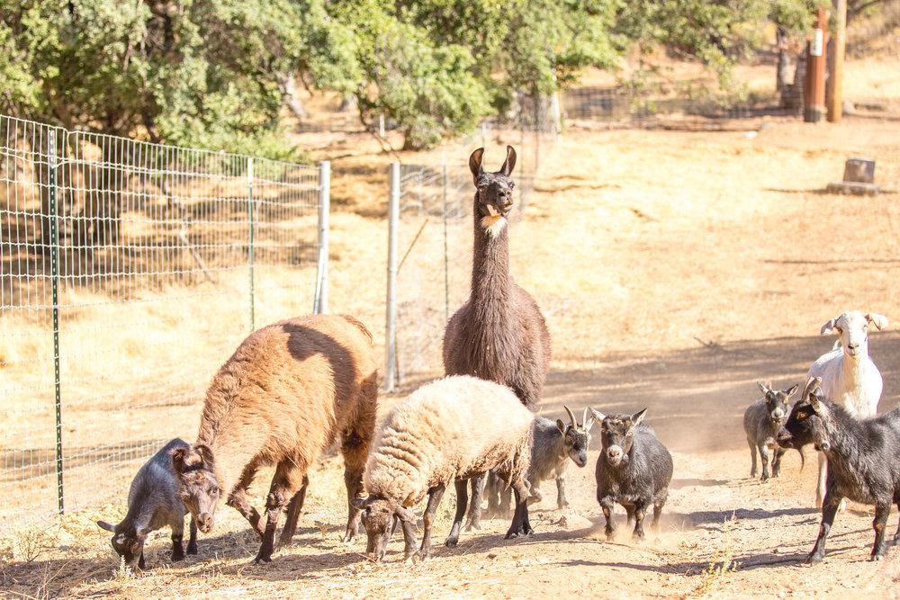The llamas, Frick & Frack and their cohorts.
