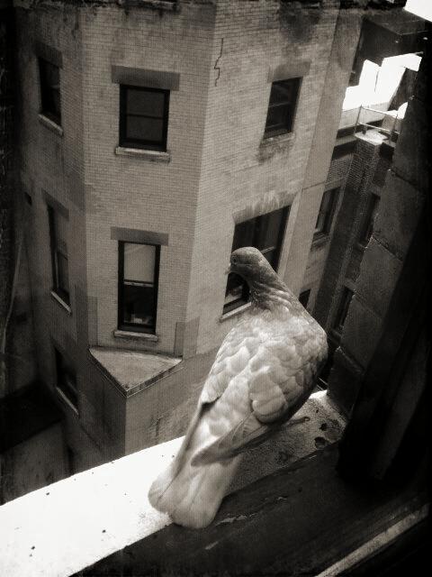 NYCpigeon.jpg