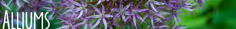 Alliums_header_redtwigfarm