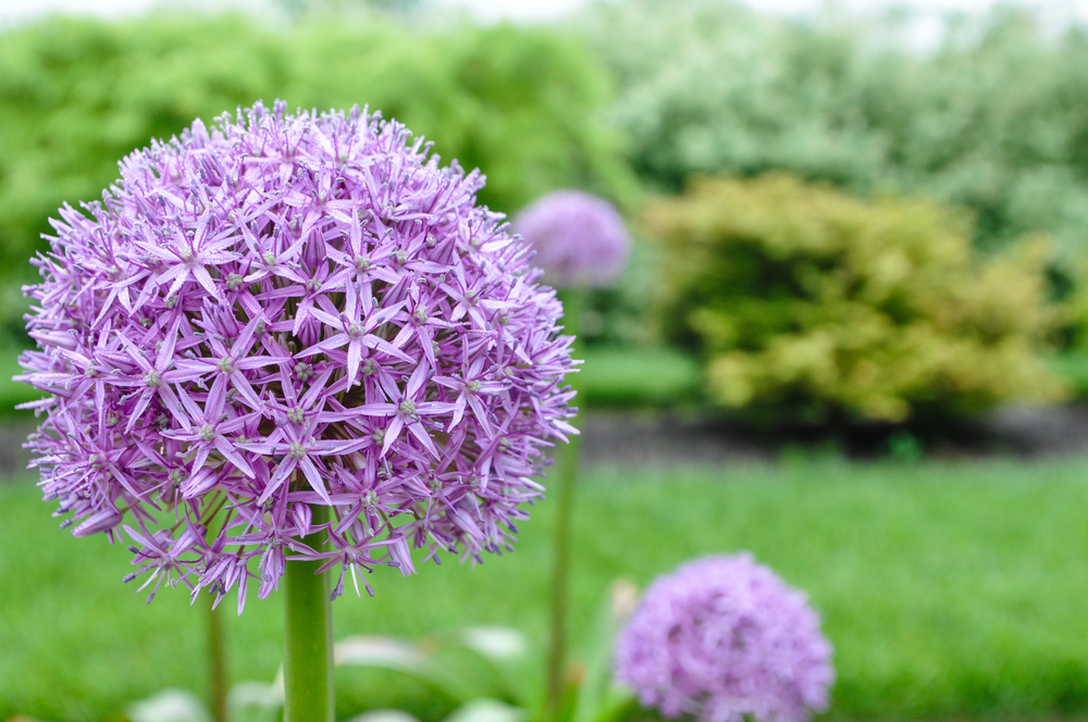 alliums_infield_redtwigfarms