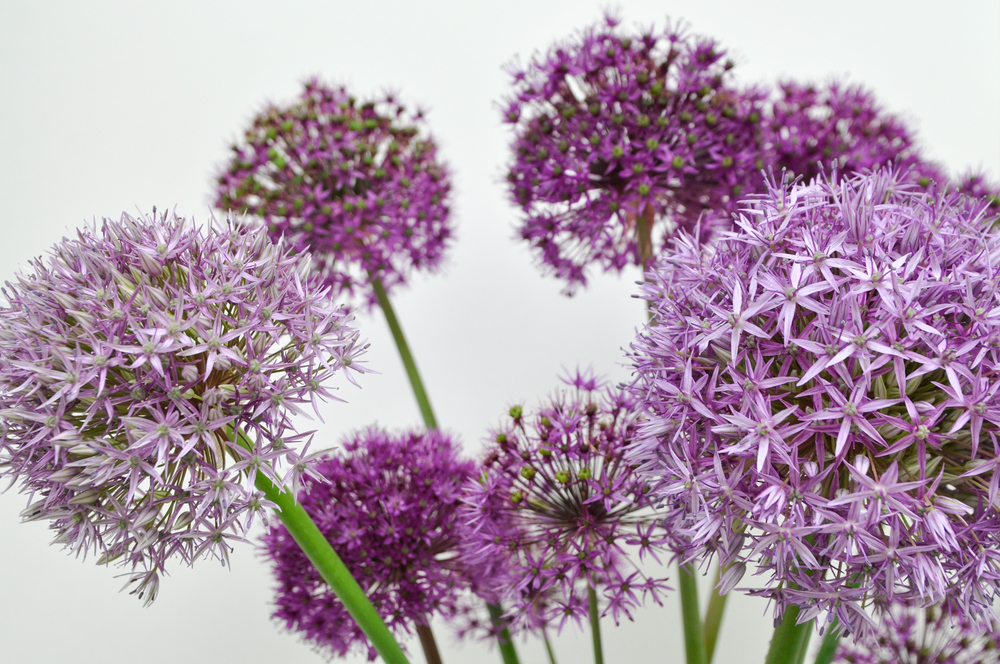 Alliums_redtwigfarms