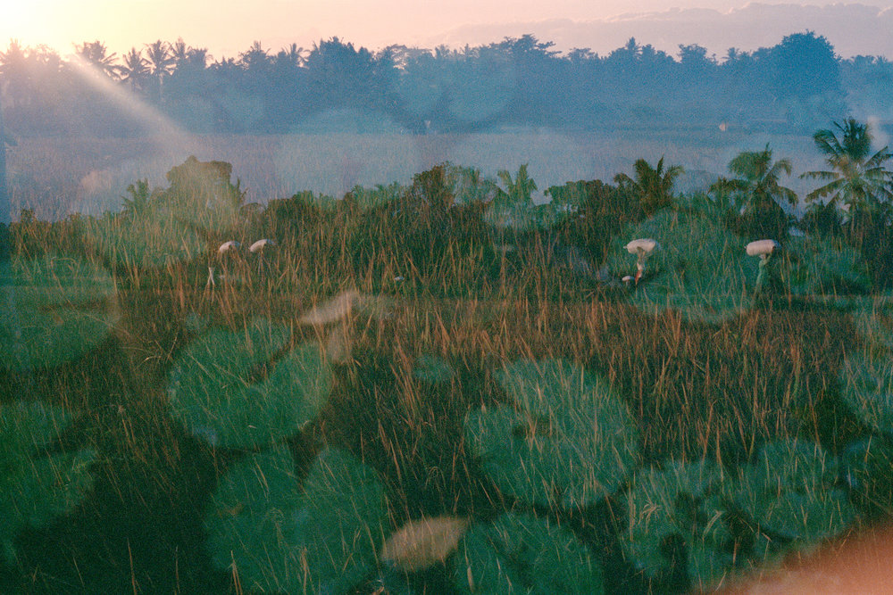 Lotus: From Mud To Flower, analogue triple exposure, Bali 2014