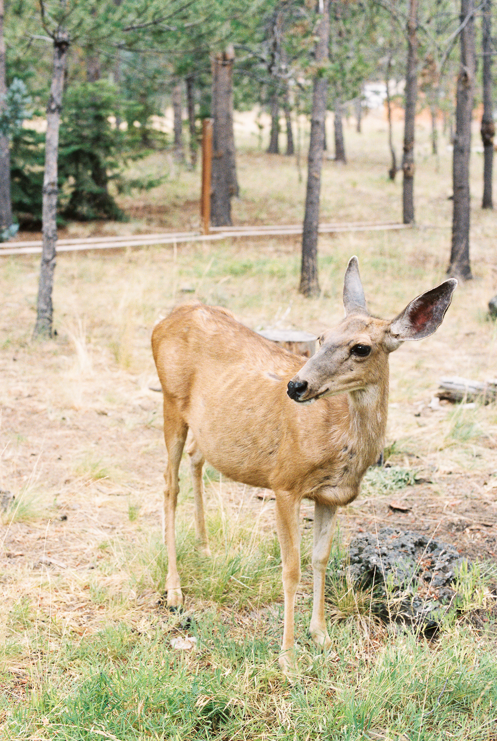 Mama Deer, Sunriver, Oregon - Portra 400 Nikon N90s