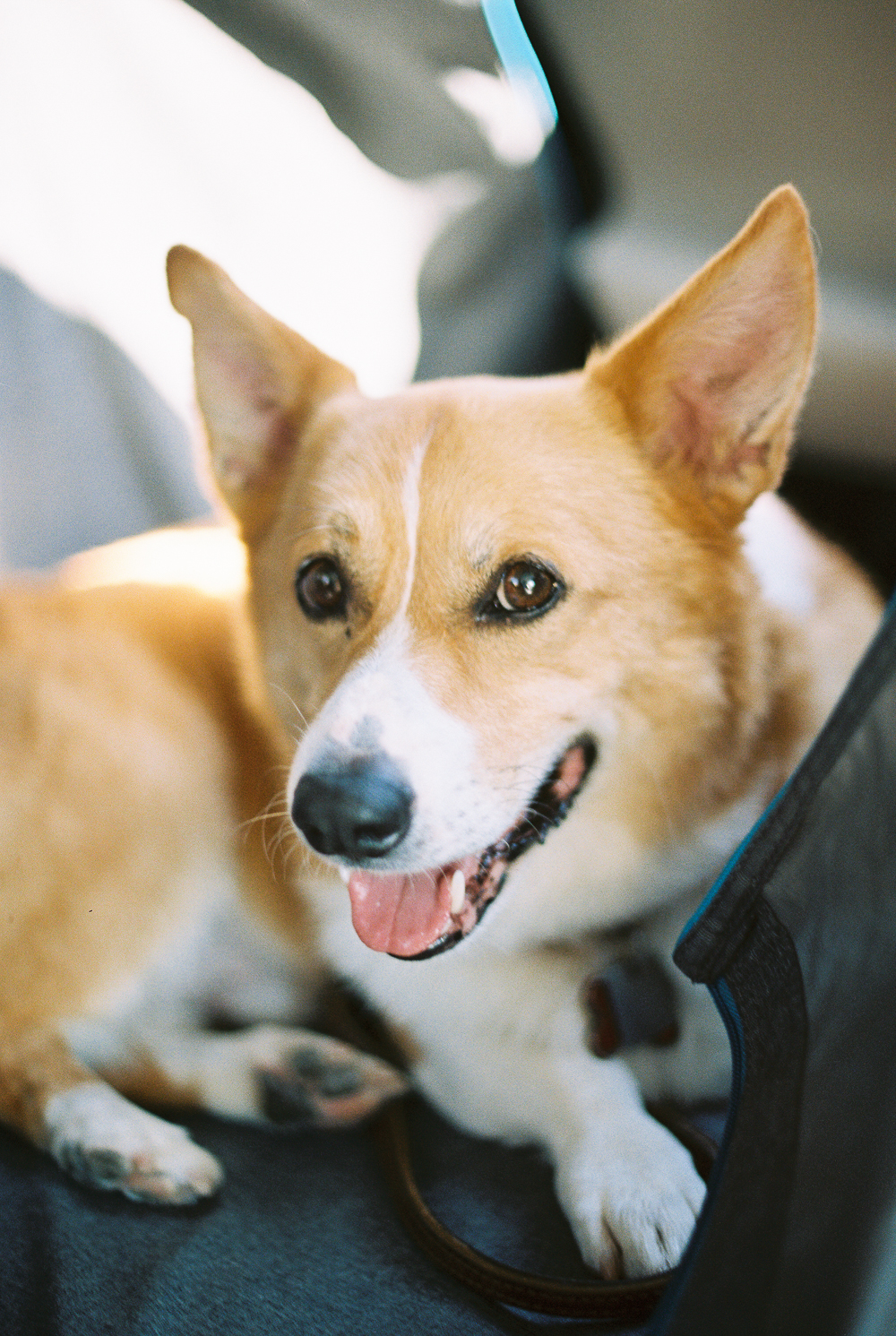 Carson the Corgi - Portra 400 on Nikon N90s
