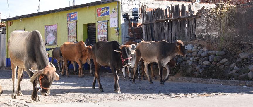 Cattle in Teotitlan.